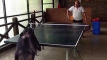 Un chimpanzé joue au ping-pong
