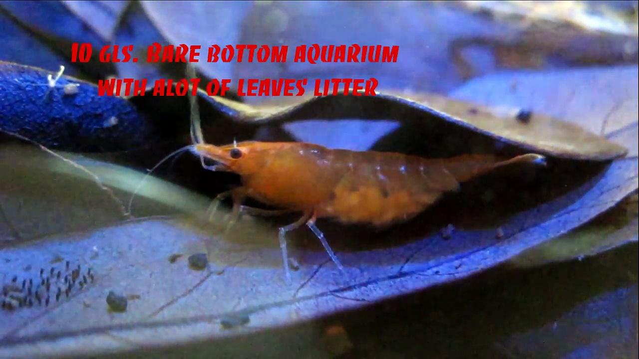 Orange Neocaridina Shrimp Pregnant