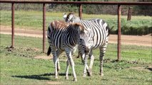 Zebras, Camels, Horses & Other Animals For Sale   Zebras R us