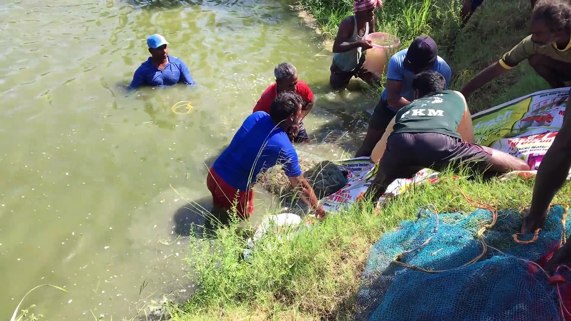panen udang-catch big prawn with net