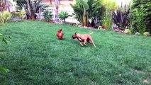 Ce chien harcele une pauvre poule