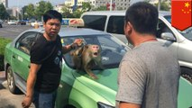 Monkey drives car: Circus monkey tries to hijack cab after getting pissed in backseat - TomoNews