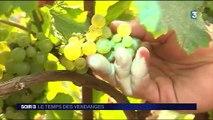 Viticulture : le temps des vendanges