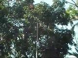 Mango Tree in #Bangladesh , Fresh Mangos to eat