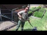 Snake Catcher Stumbles Across 8-Foot Carpet Python