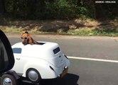 T'as déjà vu un chien conduire une voiture!