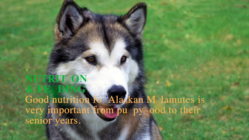 Alaskan Malamute Dog Breeds Information| Origin, History, Appearance, Temperament, Health