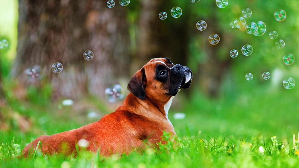 Boxer Dog Breeds Information || Origin, History, Appearance, Temperament, Health