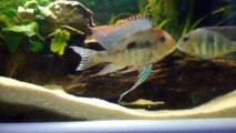 parade et repro geophagus red head