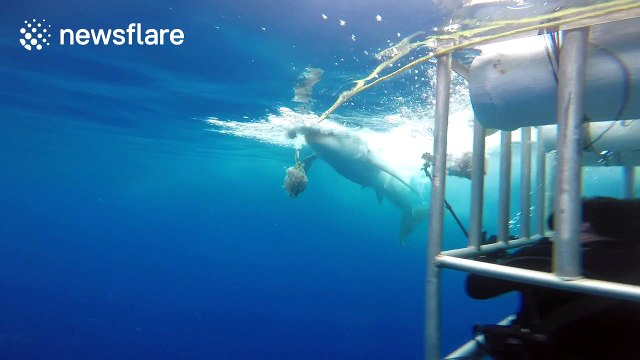 Aggressive great white shark eats bait close to shark cage