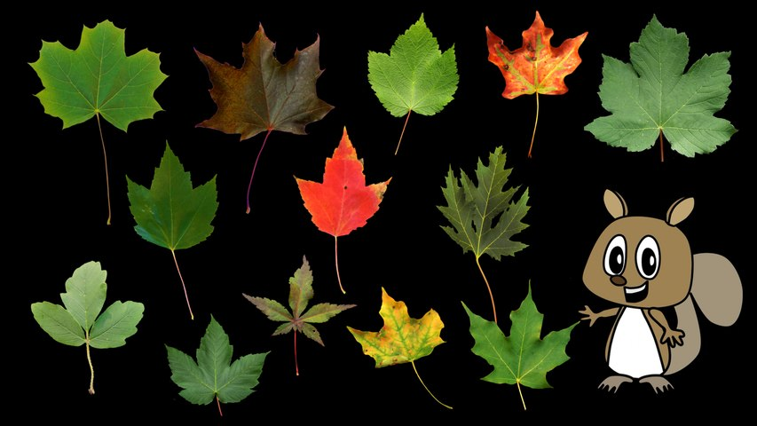 Maple Leaves - Nature / Fall Foliage - The Kids' Picture Show (Fun and Educational Learning Video)
