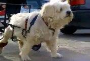 Voiturette pour chiens  handicapés -  paralysés