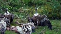 Une horde de vautours dévore sauvagement un veau dans les Pyrénées