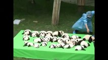 23 bébés Pandas nés dans un même Zoo en Chine présentés au Public