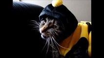 Ce costume d'abeille ne va pas réussir à ce chat : gamelle ridicule