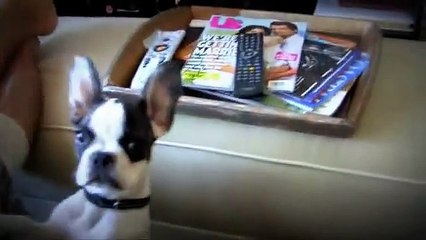 French Bulldog That Can Talk (Talking Frenchie)
