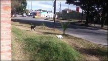 Crazy Cats attacking dogs ★ Video drole de chute d'animaux #2 - YouTube