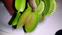 Sinek Kapan Bitkisinin Sümüklü Böcek Avı