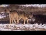 National geographic - Black Wolf's Secret Life - BBC wildlife animal documentary 2016