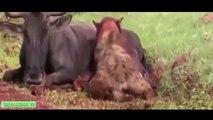 15 más LOCA de Ataques de Animales Capturados En Cámara   Más Increíble de Animales Salvajes Ataques