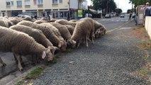Transhumance urbaine de Villenave-d'Ornon : les moutons trouvent toujours à manger