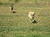 mes chiens, Vidocq et Vounie, qui courent ds les champs