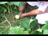 Kanpur: Injecting of green vegetables with growth hormones, farmers say it gets us profit