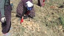 Afyonkarahisar Sandıklı'da Patates Üreticisi Umduğunu Bulamadı