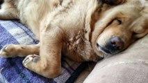 Ronflements bien forts d'un gros chien chien... Envie d'une sieste ?