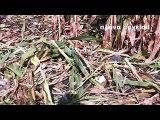 Εκτεταμένες ζημιές από αγριογούρουνα σε αγροτικές καλλιέργειες στη Βοιωτία. Σε απόγνωση οι αγρότες