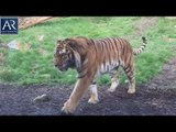 Dublin Zoo | Tigers Fight at Breakfast and Lions Playing in Sea | AR Entertainments