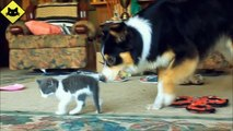 FUNNY VIDEOS: Funny Cats - Funny Dogs - Dogs Love Kittens - Funny Animals - Funny Cat Videos