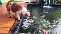 american bulldog attack fish so funny