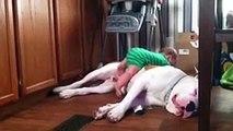American bulldog vs baby