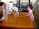 American Bulldog Vs. little girl (bulldog wins!)