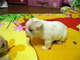 ☆French Bulldog フレンチブルドッグ「チャイ」と「よもぎ」☆