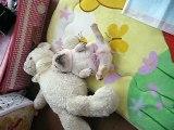 ☆french bulldog フレンチブルドッグ「チャイ」の寝相☆