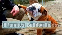 10 Funniest Bulldog Videos