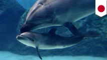 Taiji cove: Dolphin kills own pup four days after birth, mercy kill suspected - TomoNews