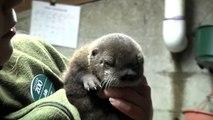 Ce bébé loutre fait ses premiers pas après sa naissance dans un zoo