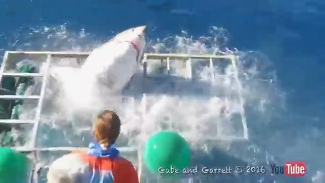 Great White Shark breaks INTO diver's cage while chasing bait - but tourist miraculously emerges