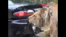 Animal attacks : Lion attacks Human in Car ► Shocking animal attacks