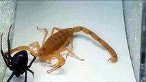 Black Widow Spider vs Scorpion - Animal Fights - Fight to Death