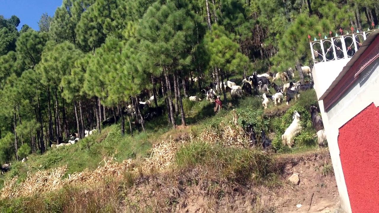 woww lot of goats