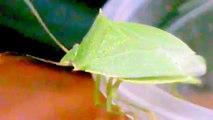 Percevejo Verde _ bedbug Green (Loxa viridis)
