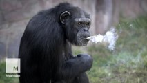 Chimp smokes a pack of cigarettes a day at North Korean zoo