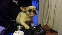 DJ Greyboy s french bulldog DJ MAMA Scratch pt. 1. DOG scratching