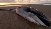 Giant 40ft Fin Whale Washes Up Dead Found In Norfolk Beach
