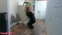 ESCAPED GORILLA BATHROOM PRANK! 2015 Best VIDEOS ever! #219 (VIRAL SECTION)