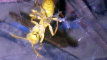 Survival Fight Between a Spider and yellow fly (پیلا بھونڈ)
